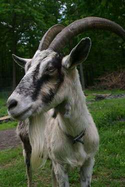 Holistic Goat Keeper interview by Julie Brill